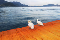 2 swans on the floating piers at iseo lake